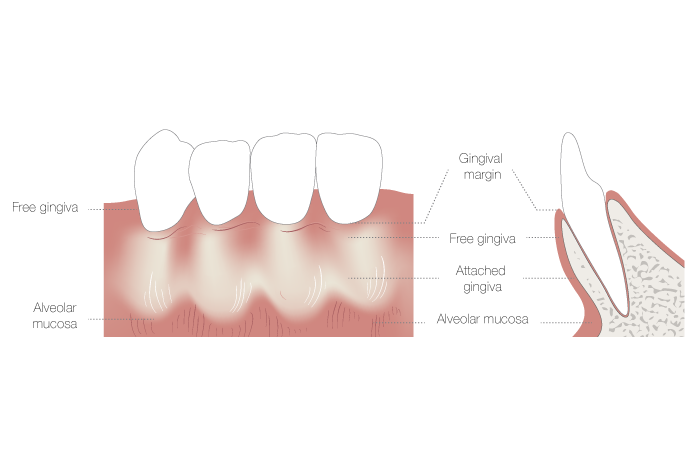 1160_muco_gingival_junction.png